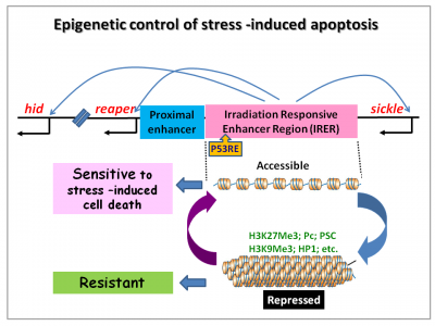Epigenetic control of stress -induced apoptosis